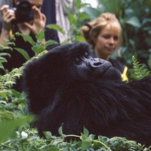 WATCH: Anyone Up To Go Trekking With Real Giant Gorillas!?