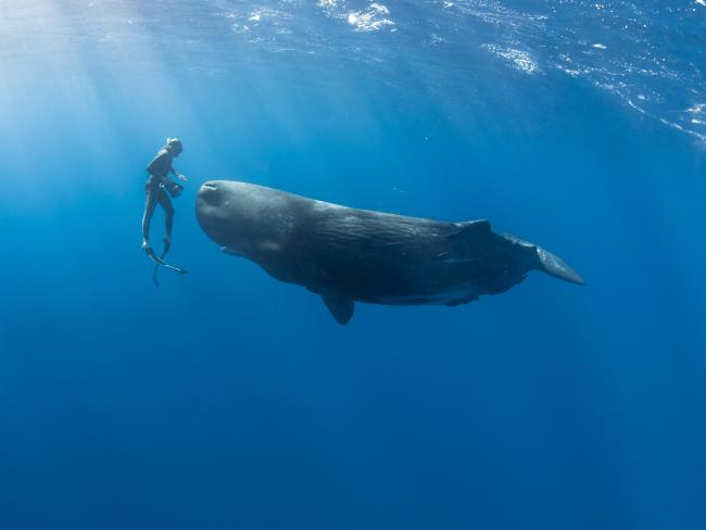 freediving with sperm whales