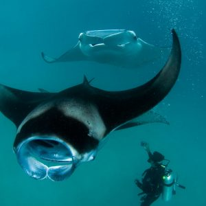 Scuba diving With Giant Manta Rays Maldives Special Expedition